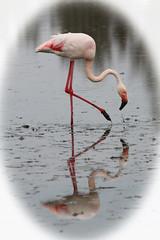 Pink Flamingo (ec1jack) Tags: ec1jack kierankelly canoneos600d france provence europe eu june 2017 southoffrance summer pink flamingos camargues camargue pontdegau parcornithologiquedepontdegau bouchesdurhône saintesmariesdelamer