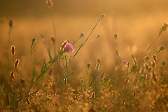 Eté (jpto_55) Tags: soir soleilcouchant goldenhours goldenligth flare xe1 fuji fujifilm omlens om135mmf28 hautegaronne france été bokeh flickrunitedaward