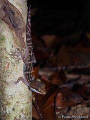 Stumpff's Ground Gecko - Paroedura stumpffi (paulajie) Tags: lokobe nature wildlife animal photography ground gecko paroedura stumpffi national park retile lizard stumpffs madagascar olympus omd micro 43 fauna em10 mark ii