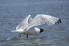 Pallas's gull (wietsej) Tags: pallass gull danube delta romania rx10 rx10m3 rx10iii 111 iii sony bird nature ultimafrontiera wildpix donau ultima frontiera roemenie wietse jongsma