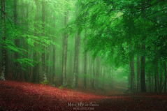 Springtime (Mimadeo) Tags: forest fog trail footpath trees spring wet foggy natural leaf misty mist beech branch nature haze landscape morning leaves green trunk light sunlight mystery mysterious path pathway beautiful