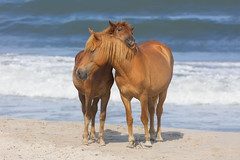 Happy-ness (Michael Rickard) Tags: assateague assateagueisland delmarva maryland beach wildhorses horse wildlife sunny nature sea