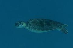 Green Turtle_Something Special_June 2017 C (R13X) Tags: bonaire underwaterphotography underwatermacrophotography scubadiving diving denlaman dutchcaribbean dutchislands shorediving nikon nikon105mm nikon60mm d7200 greenturtle turtle barireef somethingspecial saltpier torisreef