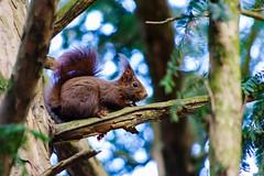 Sciurus vulgaris 3 (Meg4mi) Tags: vert green nature animals animal red squirrel sciurus vulgaris pentax pentaxart k1 55300