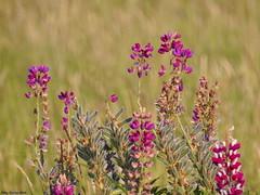 Lupine (Corine Bliek) Tags: flower flowers bloem bloemen bloei kleuren kleurrijk colourful colours purple pink nature natuur