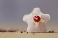 Summer starlet (ashora_63) Tags: macro hoyacarnosa stilllife macromondays relaxation microseeds tropicalflowers fragrantflowers velvet flowersbokeh starlets hbw bright july