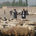 Uyghur shepherd with sheep