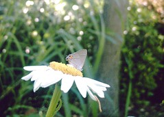 hairstreak butterfly on a daisy three