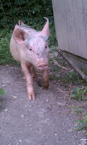 Pig Exploring Outside