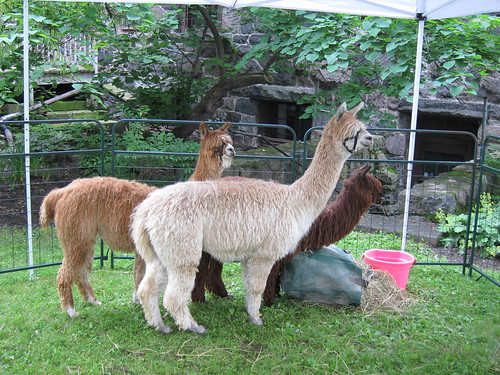 Alpacas all in a row.