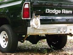 130 (stevenbr549) Tags: black cat truck wagon jumping funny power dodge 1980