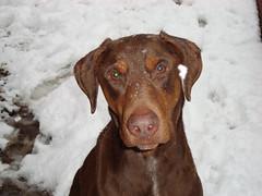 Akai in the Snow 4 2010-02-11 (PiscesTiger24) Tags: winter red dog pet brown snow yard hund doberman braun dobie akai inu dobermann schnee