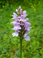 Orchis maculata- Cat (Marlis1) Tags: spain orchids catalunya wildorchids elsports geflecktesknabenkraut marlis1 orchismaculata pentaxx70 mtcat dactylhorizamaculata