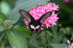 Black is beautiful (tommyajohansson) Tags: kewgardens london kew butterfly geotagged papillon schmetterling faved kewbotanicalgardens tommyajohansson royalkewbotanicalgardens