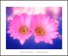 Renacimiento de la primavera (Jose Luis Mieza Photography) Tags: flowers flores flower fleur fleurs flor benquerencia florews reinante jlmieza reinanteelpintordefuego joseluismieza