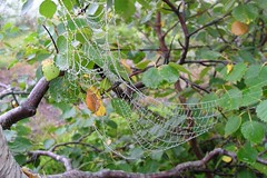 Spindelvevdugg (Lasse Postmyr) Tags: net nature norway spider dugg