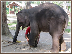 An Asian Elephant (Elephas maximus) walking with a limp due to an amputated left forefoot