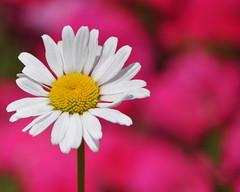paju flower festival