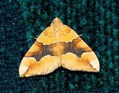 Barred Yellow (_Yvonne_) Tags: macro lepidoptera moths barredyellow