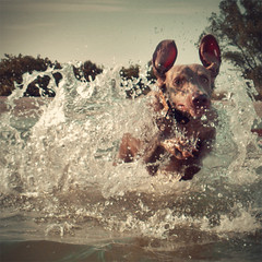 ~ torpedo ! (saikiishiki) Tags: ocean sea dog sun playing silly love beach water face swim square de fun amazing funny play hand florida fort adorable ears super run weimaraner freeze ft torpedo determined splash blast soto dogbeach lunge omoshiroi splashing weim mukha ftdesoto thelittledoglaughed actionbynellynerothankyou