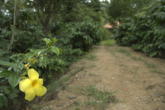 Road side bloom (cash-if) Tags: flower track cash bloom roadside coorg mywinners abigfave impressedbeauty flickrdiamond dpsyellow