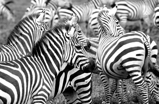 ssc zebras - Eliza Deacon