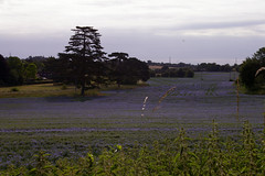 Looking towards Somersham (Racefox) Tags: flowers england countryside suffolk poppies linseed flaxseed offton