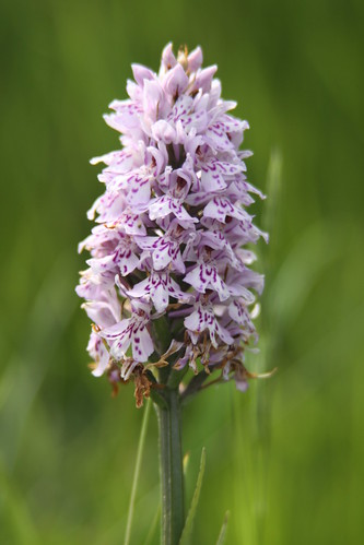 Common Spotted Orchid / Dactylorhiza fuchsii