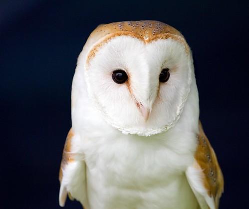 フリー写真素材|動物|鳥類|メンフクロウ科|フクロウ|メンフクロウ|