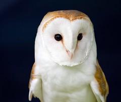 [フリー画像] 動物, 鳥類, メンフクロウ科, フクロウ, メンフクロウ, 201007060500