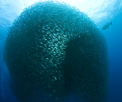akule (bodiver) Tags: angle wide fins orcadivers