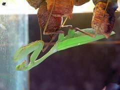 ris zsiai imdkoz sska - Giant asian praying mantis (The Crow2) Tags: holiday netherlands amsterdam animal mantis insect zoo awesome panasonic llat artis 2010 hollandia dmcfz30 rovar sska amszterdam llatkert thecrow2
