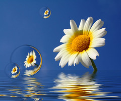 Simple Beauty in a Daisy (Beverly & Pack) Tags: flowers blue summer sky white plant flower wet water yellow daisies reflections garden petals spring blossom floating bubbles daisy bloom marguerite float blossum lovesme lovesmenot
