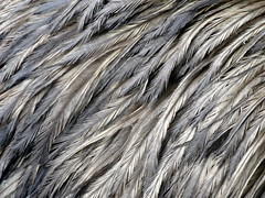 Berkshire Bird Paradise - Emu Feathers (fkalltheway) Tags: newyork texture closeup feathers petersburg emu grafton dromaiusnovaehollandiae birdfanatics berkshirebirdparadise fkalltheway