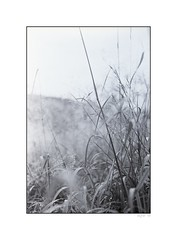 In the Grass (ucn) Tags: voigtlaender ilfordpanf hcd panf50 bergheil film:iso=50 film:brand=ilford spürsinn spürsinnhcd developer:brand=spürsinn developer:name=spürsinnhcd film:name=ilfordpanf50 filmdev:recipe=6136