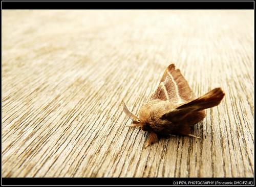 Eastern Tent Caterpillar Moth (Malacosoma americanum)