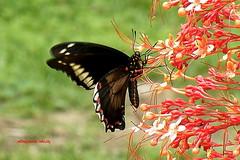 Mariposa/Butterfly/Farfalla/Borboleta/Papillon (Altagracia Aristy) Tags: butterfly américa dominicanrepublic papillon borboleta tropic caribbean mariposa farfalla antilles laromana caribe repúblicadominicana trópico antillas quisqueya polydamasswallowtail fujis8100fd fujifinepixs8100fd altagraciaaristy fujifilfinepixs8100fd battusppolydamas caraïbi