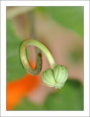 Tropaeolum majus L. (Tropaeofceas) (Jess ngel Esteras) Tags: macro nikon plantas l tropaeolum majus capuchina d90 105vr tropaeofceas