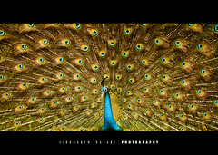 Brilliance. (SiddharthDasari) Tags: show blue india colour bird beautiful beauty danger canon design colours display god peacock off institute explore creation national krishna pixels frontpage brilliant extinct gujarat ahmedabad grandeur importance canonrebelxs canoneos1000d siddharthdasari