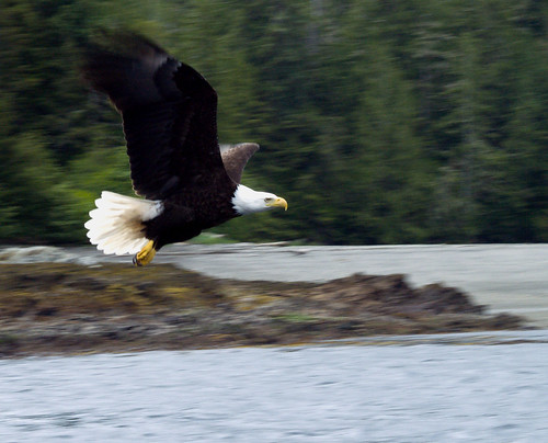 Eagle in Ketchikan