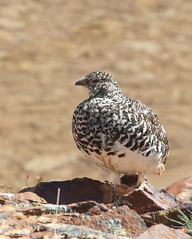 White-tailed Ptarmigan (ajtoepfer) Tags: birds colorado wildbirds whitetailedptarmigan alpinehabitat