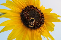 GIRASOLE CON OSPITE (GIORGIO BONOMO) Tags: ape top20nature fiori girasoli