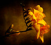 Freesia (Laura Galley) Tags: stilllife orange brown flower art texture fleur yellow dark botanical gold golden flora searchthebest legacy fa freesia excellence ourtime objectiveart imagepoetry soulscapes memoriesbook theunforgettablepictures dragondaggerphoto artistictreasurechest redmatrix magicunicornverybest selectbestfavorites selectbestexcellence magicunicornmasterpiece sailsevenseas coppercloudsilvernsun lauragalley sbfmasterpiece magiayfotografia lgphotoart heavensshots