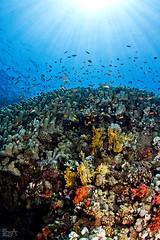 Ray, ray, sunray (Lea's UW Photography) Tags: coral underwater redsea egypt fins unterwasser tiran korallen tokina1017mm canon7d leamoser