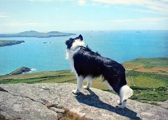 Looking Out to Sea... (meg price) Tags: sea wales bordercollie barney stdavids thelittledoglaughed