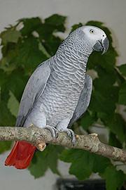 yaco o loro gris africano