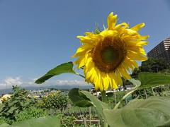 ひまわり! / Sun Flower!