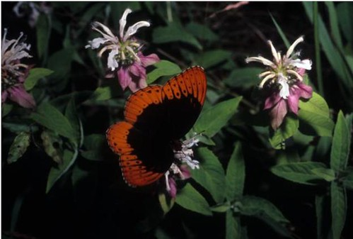 Diana fritillary butterfly feeding at a mint flower. (photo credit FS Southern Research Station)