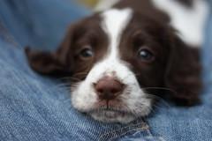 IMG_4286 (chrisgandy2001) Tags: dog cute english puppy cuddly spaniel springer springerspaniel doggy pup puppydog floppyears englishspringerspaniel englishspringer
