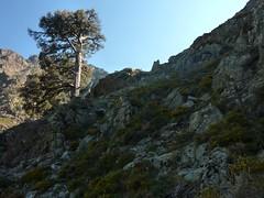 Remontée de la Haute Lonca : le pin laricio de la trace intermédiaire